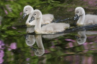 New company of swans