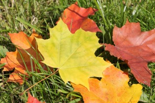 The yellow leaf of a maple which fell to a grass in the fall